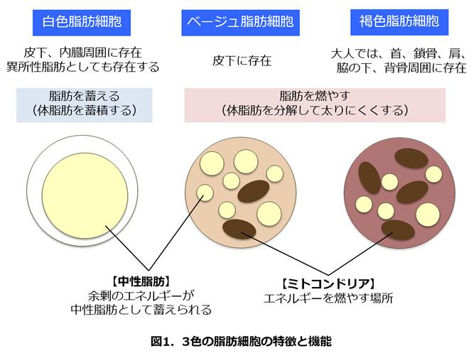増やす 細胞 褐色 脂肪