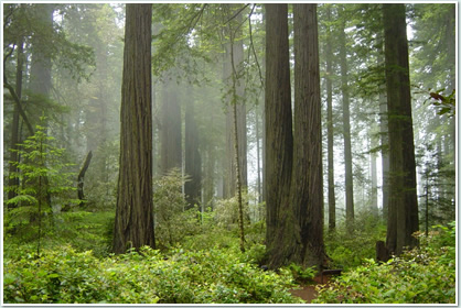 レッドウッド国立公園の画像 p1_20